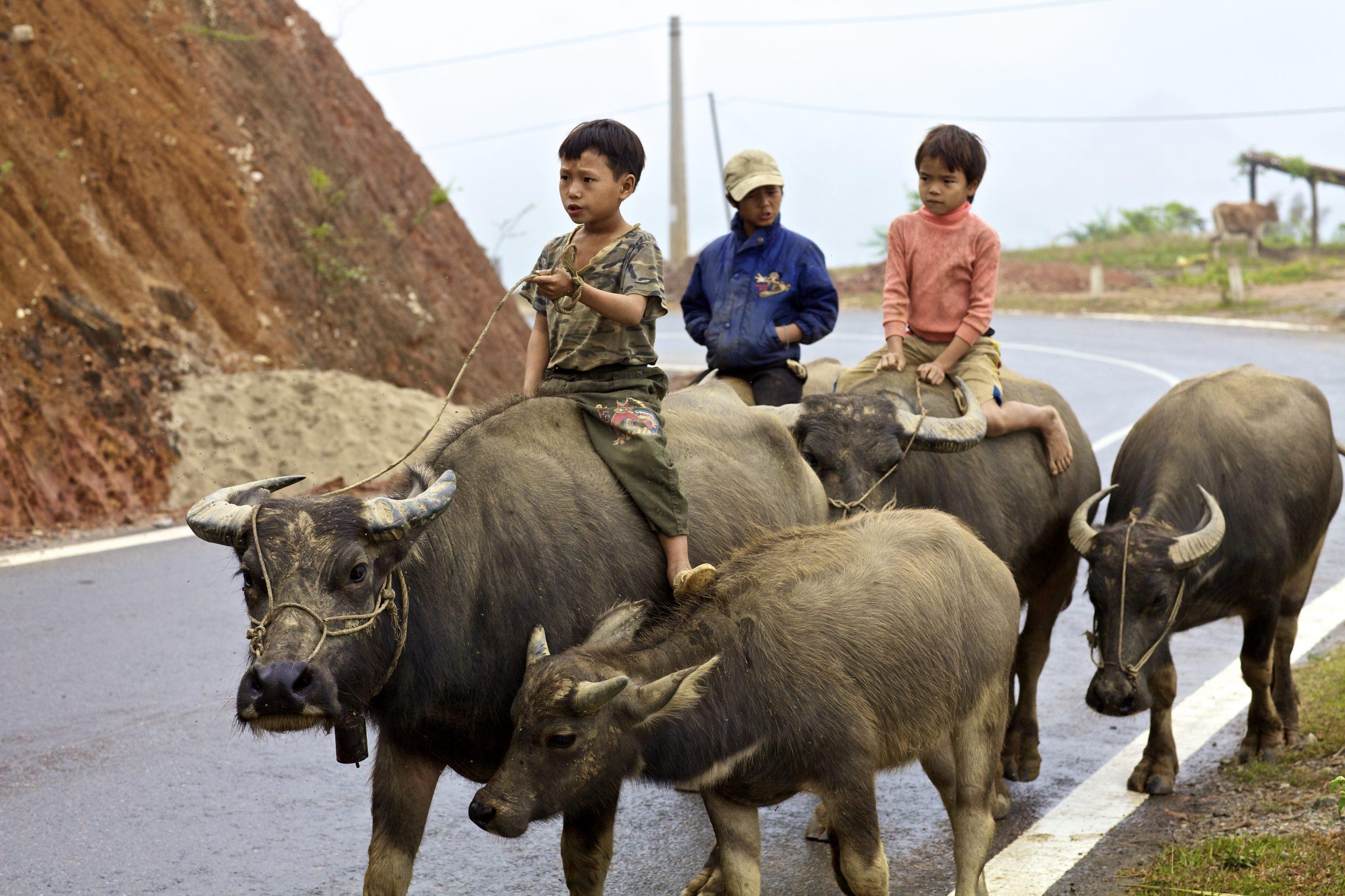 500px-photo-id-6156987-children-herding-water-buffalobac-ha-vietnam